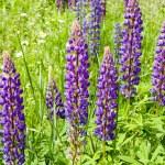 Lupin blossom — Stock Photo #12321310