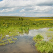 Stock Photo: Swamp landscape with iris flowers