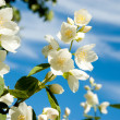 Jasmine bloom — Stock Photo #12321359