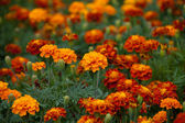French marigold flowers in flower-bed — Stock Photo