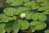 Vatten lilly — Stockfoto