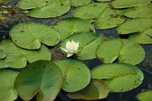 Water lilly — Foto de Stock
