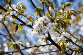 Cherry bloom — Stock Photo