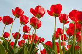 Tulipanes rojos primavera — Foto de Stock