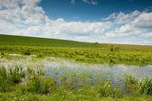 Swamp landscape with iris flowers — Stock Photo