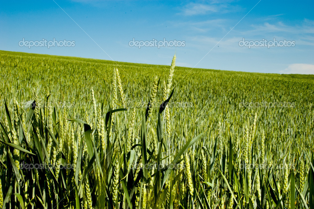 Green wheat in fileld  Stock Photo #12321138