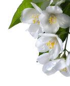 Umění Jasmín bílý květ izolovaných na bílém pozadí — Stock fotografie