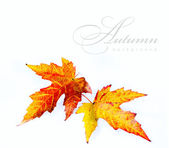 Orange autumn wet maple leaf isolated on white background — Stock Photo