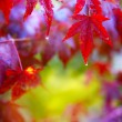 Rain. Wet red autumn leaves — Stock Photo