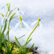 Foto de Stock  : Art Spring snowdrop flowers with snow in the forest