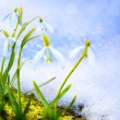 Stock Photo: Art Spring snowdrop flowers with snow in the forest