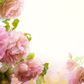Abstract Beautiful pink rose floral border background  — Stock Photo