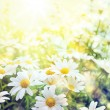 Art Field of daisies sky and sun — Stock Photo #49255129