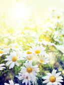 Art Field of daisies sky and sun — Stock Photo