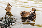 Three ducklings in a pond — Foto de Stock