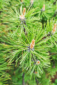 Pine Mountain Pinus mugo Turra — Stock Photo