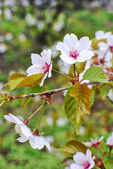 Branch of japanese sakura blossoms Prunus serrulata — Stock Photo