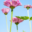 Stock Photo: Beautiful pink summer flowers