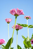 Beautiful pink summer flowers — Stock Photo