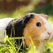 Stock Photo: Guinepig