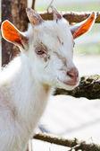 Domestic goatling — Stock Photo