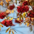 European Rowan — Foto Stock