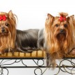 Stock Photo: Two Yorkshire Terriers