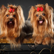 Two Yorkshire Terriers — Stock Photo