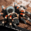 Mexican Red-kneed Tarantula — Stock Photo
