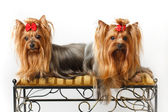 Due yorkshire terrier — Foto Stock