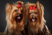 Two Yorkshire Terriers — Stockfoto