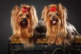 Two Yorkshire Terriers — Foto Stock