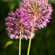 Stock Photo: Allium jesdianum