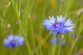Wild cornflowers — Stock Photo