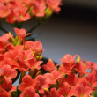 Kalanchoe blossfeldiana — Stock Photo