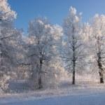 árvores e a neve do inverno — Fotografia Stock  #36177653