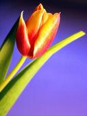 Tulipano giallo-rosso — Foto Stock