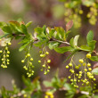 European barberry (Berberis vulgaris) — Stock Photo