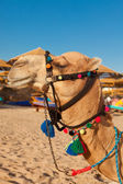 Camel portrait — Stockfoto
