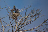 Great Cormorant (Phalacrocorax carbo) — Stockfoto