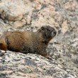 Stock Photo: Hoary Marmot in rocky mountains