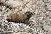 Hoary Marmot in the rocky mountains — Stock Photo