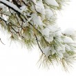 Snowy pine branch — Stock Photo