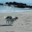 Sheepdog running the beach — Stock Photo