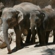 Stock Photo: Elephants