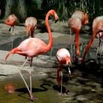 Flamingos — Stock Photo #18049745