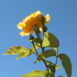 Heroic yellow rose — Stock Photo