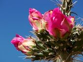 Cholla Cactus Blossom — Stock Photo