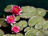 Three Red Lotuses — Stock Photo