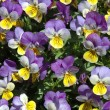 Stock Photo: Violas